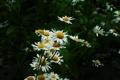 Картинка лето, ромашки, белые цветы, гадание