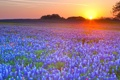 Картинка закат, цветы, луг, люпин