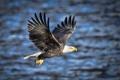 Картинка рыба, белоголовый орлан, крылья, полет, хищник, добыча