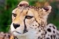 Картинка морда, гепард, суровая