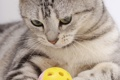 Картинка кошка, кот, окрас вискас, Шотландский, прямоухий страйт
