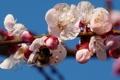 Картинка цветы, природа, ветка, весна, шмель
