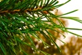Картинка зелень, капли, макро, дождь, елка, ель, сосна
