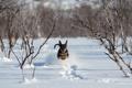 Картинка снег, бег, собака