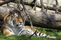 Картинка природа, тигр, зоопарк