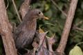 Картинка птицы, природа, Hungry Blackbirds