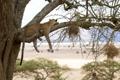 Картинка дикая кошка, ветки, отдых, хищник, дерево, леопард