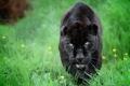 Картинка морда, хищник, пантера, ягуар, дикая кошка