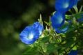 Картинка ипомея, Convolvulus, Ipomoea, фарбитис, голубые, вьюнок, цветы