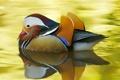 Картинка краски, перья, клюв, утка, мандаринка