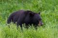 Картинка трава, черный, медведь