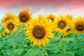 Картинка поле, подсолнухи, желтые, лепестки