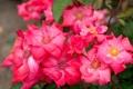 Картинка Розовый, Цветы, фото