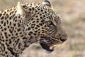 Картинка кошка, морда, леопард, профиль