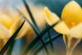 Картинка макро, crocus, цветы