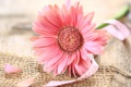 Картинка цветок, розовая, ленточка, гербера