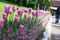 Картинка flower, Цветок, тюльпан