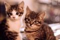 Картинка кошки, котята, два, котэ, маленьких