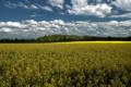 Картинка поле, облака, рапс