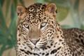 Картинка морда, кошка, взгляд, леопард
