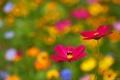Картинка Bee, Flower, Cosmos