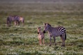 Картинка зебры, детёныш, цветы