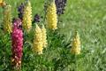 Картинка люпин, поле, фото, цветы