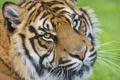 Картинка взгляд, морда, тигр, ©Tambako The Jaguar, суматранский