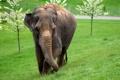 Картинка трава, деревья, слон, цвет, размытость, млекопитающее