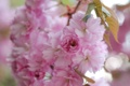 Картинка макро, цветы, весна, лепестки, размытость, сакура, розовые