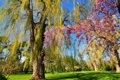 Картинка деревья, парк, весна, сад, цветение, скамья, ива