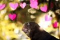 Картинка взгляд, собака, сердечки