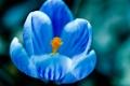 Картинка цветок, макро, синий, голубой, крокус