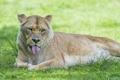 Картинка язык, ©Tambako The Jaguar, львица, трава, лето, кошка
