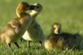 Картинка трио, птенцы, гусята, Канадская казарка