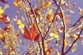 Картинка осень, небо, листья, ветки, клен