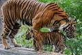 Картинка бревно, детёныш, котёнок, тигры, тигрица, тигрёнок, материнство