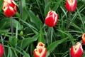Картинка зелень, листья, тюльпаны, красные, бутоны