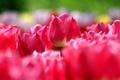 Картинка весна, тюльпаны, розовые, много, паутинка