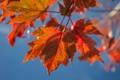 Картинка осень, небо, листья, макро, клен