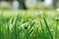 Картинка зелень, белый, трава, цветы, природа, фон, widescreen