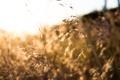 Картинка пшеница, солнце, рожь