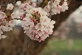 Картинка макро, цветы, вишня, дерево, нежность, ветка, весна