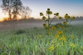 Картинка трава, цветы, туман, роса, рассвет, утро, паутинка