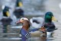 Картинка краски, перья, утка, водоем, мандаринка
