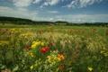 Картинка природа, луг, маки, трава, цветы