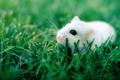 Картинка трава, глаза, белая, черные, крыска