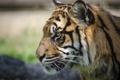 Картинка морда, тигр, хищник, профиль, дикая кошка