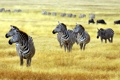 Картинка зебры, профиль, стадо