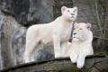 Картинка кошка, семья, пара, львица, львёнок, белый лев